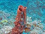 Den röda tubsvampen trivs i isolerade vänstermiljöer.